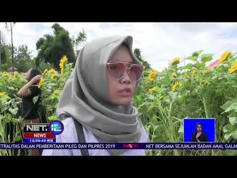Wisata Kebun Bunga Matahari di Tangerang, Banten NET12