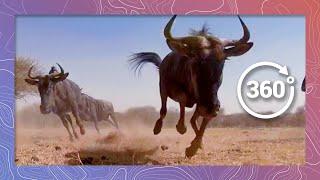 Wild African Animal Stampede | Wildlife in 360 VR