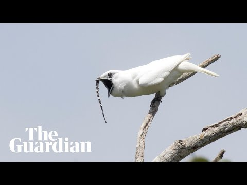 White bellbird: listen to the world's loudest bird call