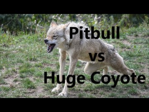 Pitbull Dog Vs Huge Coyote Fight  | WHO WINS ?  | REAL ATTACK