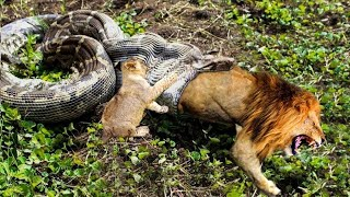 Python is too aggressive, Lion Cub mistakes when challenged - The result of Lion Cub