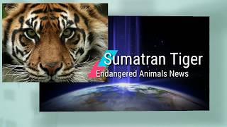 Sumatran Tigers  | Endangered Animals | Best Environmental Science Learning Videos 4 Kids