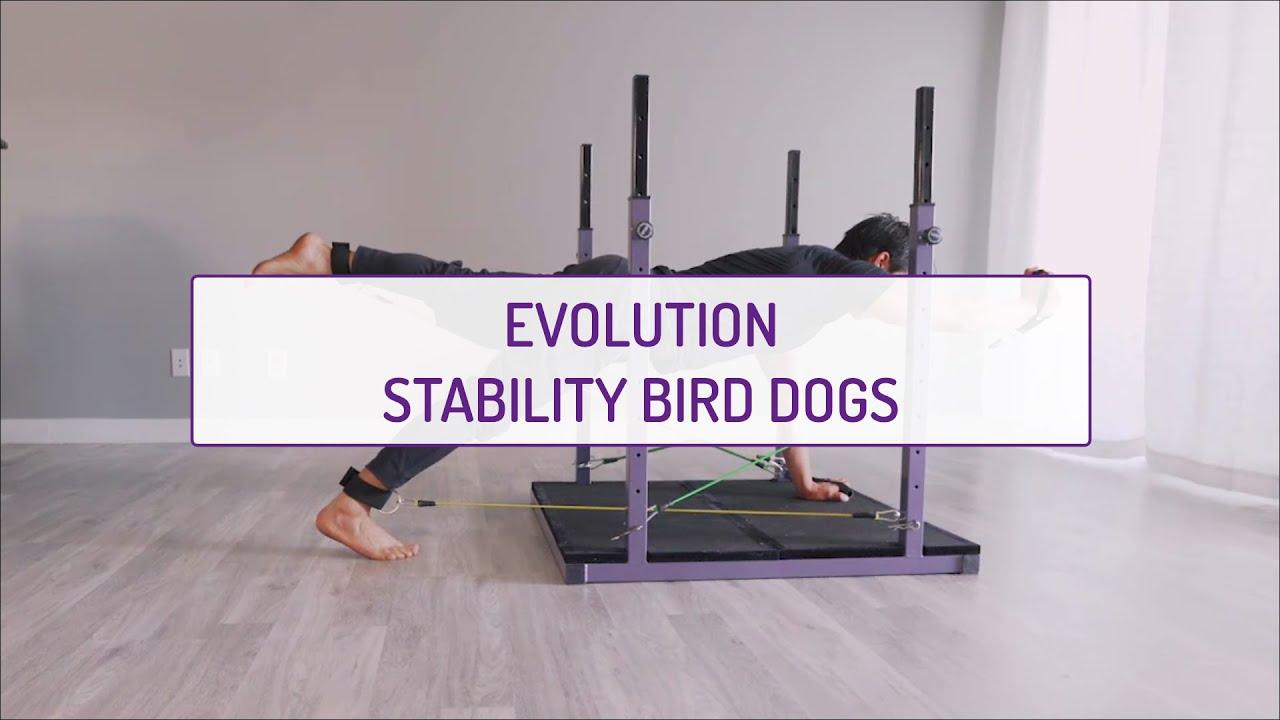 Evolution Stability Bird Dogs