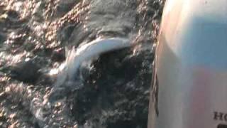 preview picture of video 'Barracuda a Castelsardo con Luciapuma.mpg'