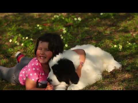 Vendita cuccioli di landseer - allevamento landseer puppy