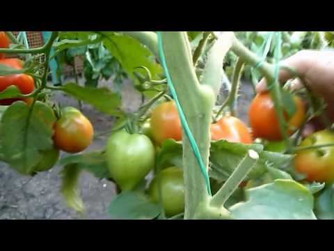 сбор томатов Гибрид2 Тарасенко