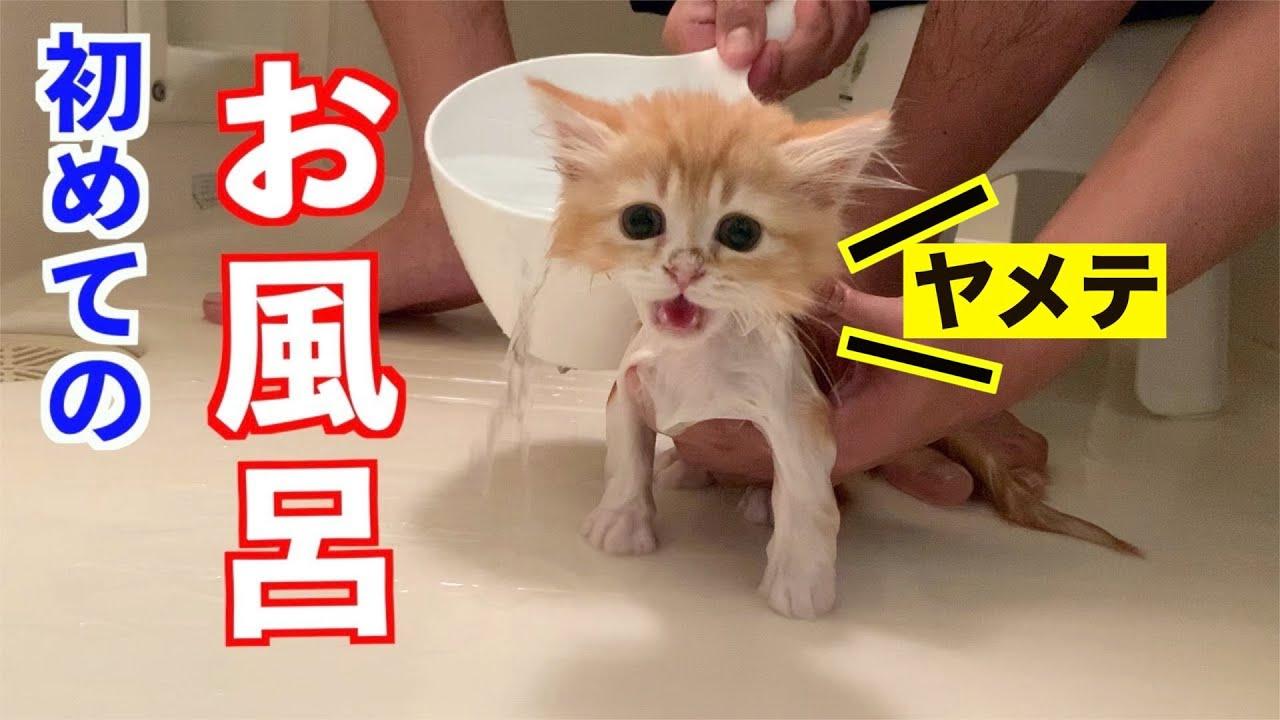 【号泣】生まれて初めてのお風呂に泣き叫ぶ子猫(マンチカン)/Kitten taking a bath for the first time in r life (Munchkin)