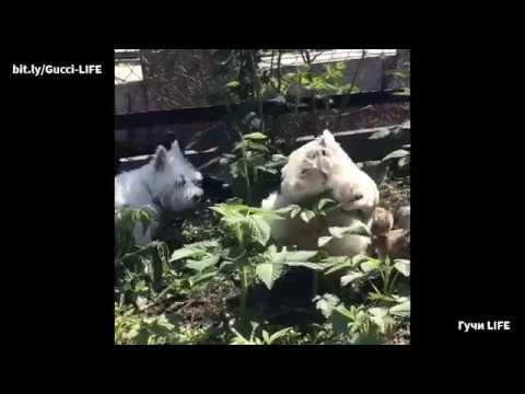 Гучи и цыплята