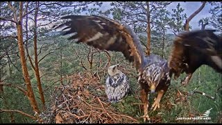Latvian Golden Eagles ~ Spilve Returns To Nest With Leg/Foot Injury! 6.15.20