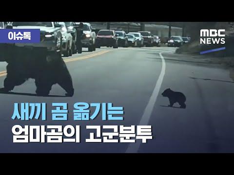 새끼 곰 옮기는 엄마곰의 고군분투