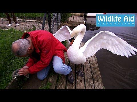 Pokušao je da spasi mladunče labuda, no onda se pojavio jedan od roditelja…