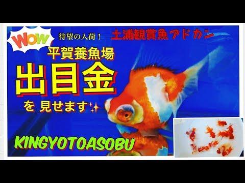 金魚の代表格 デメキン~平賀産出目金 黒デメキン を紹介