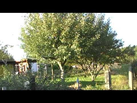 Apfelbaum trägt keine Äpfel mehr? So gibts Riesenäpfel ;)