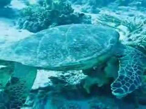 Turtle, Shedwan Reef,Hurghada,Ägypten