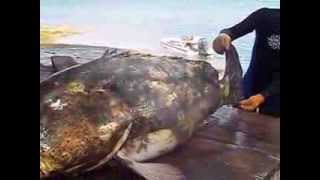 preview picture of video 'Goliath Grouper (Jew Fish) Andros, the Bahamas'