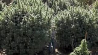 2016  outdoor cannabis grow, harvest time