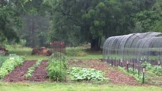 East Texas Gardener Back to Eden gardening with the Cardinals in the rain