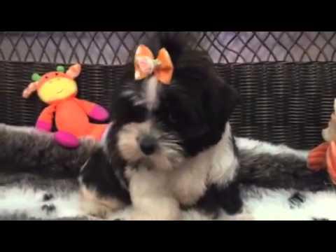 Teddy bear Mal-Shi puppy