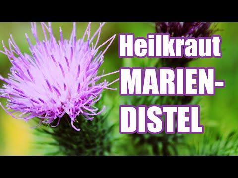 MARIENDISTEL - Wirkung (Leber, Galle, Darm) // (ENDLICH AKNEFREI #9)