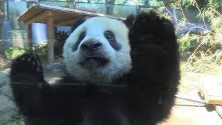シャンシャン、カメラに興味シンシン=ジャイアントパンダ357日齢の映像