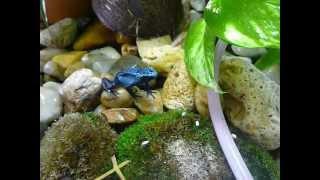 Pralesnička azurová - Dendrobates azureus