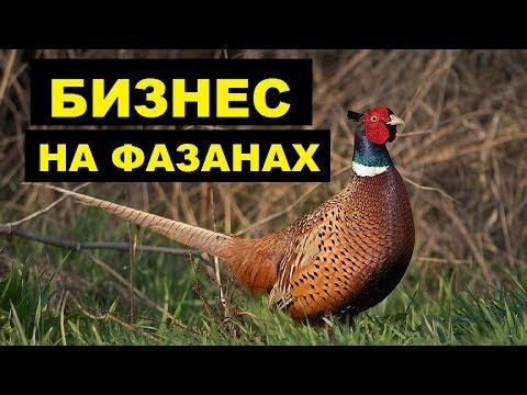 Разведение фазанов в домашних условиях как бизнес идея