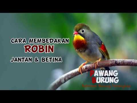 Video CIRI BURUNG ROBIN JANTAN & BETINA
