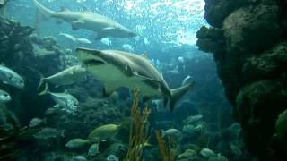 Shark Week 2011: Sand Tiger Sharks Deceive with Toothy Look