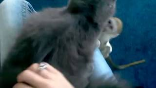 baby monkey humps dog