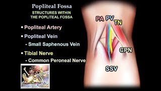 Anatomy Of The Popliteal Fossa - Everything You Need To Know - Dr. Nabil Ebraheim