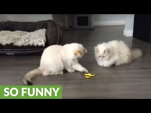 Both Dogs And Cats Love Playing With Fidget Spinner