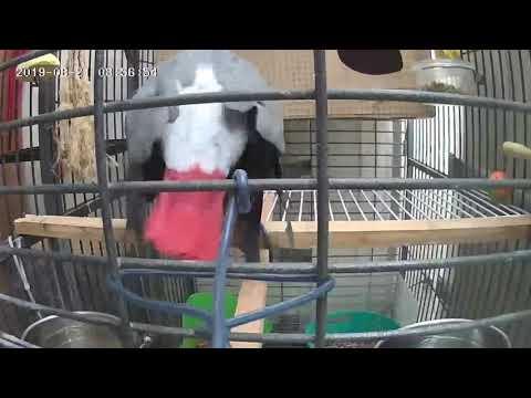 Love ❤️ African grays parrots bird mating تزاوج طائر الببغاء