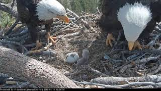 04-15-19 Big Bear Lake eagles; Shadow sees baby #2 for the first time.