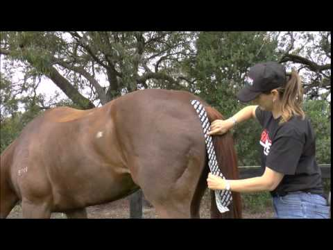 Equine Hamstring