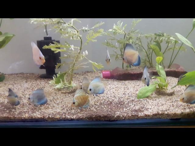 Discus fish Aquarium | Blue Diamond