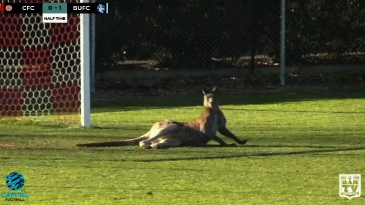 Kangaroo Interrupts Soccer Game - Video