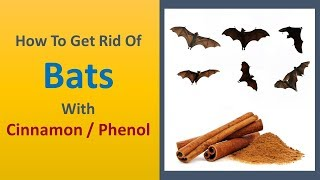 how to get rid of bats with Cinnamon / Phenol.
