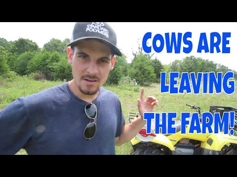 , title : 'The Cows Are Leaving The Farm!