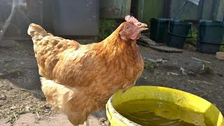Rescuing Battery hens
