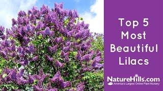 Top 5 Most Beautiful Lilacs | NatureHills.com