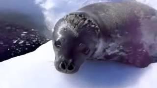 Маленький тюлень учится плавать