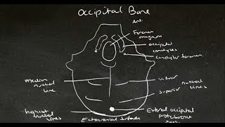 Tutes Online - The Occipital Bone
