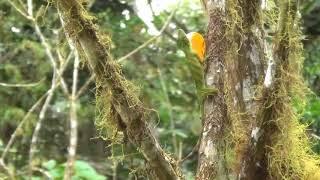 Anolis chocorum