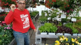 VIDÉO : Coup de soleil sur les plants de fines herbes et légumes