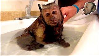 Capuchin Monkey Hot Relaxing Bath!