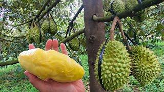 Ăn sầu riêng chín cây rụng gốc tại vườn chỉ 50k/kg Siêu ngon ở  Đạ Huoai tỉnh Lâm Đồng