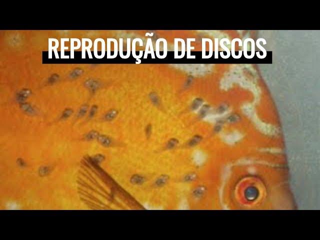 Reprodução de Acará-Disco