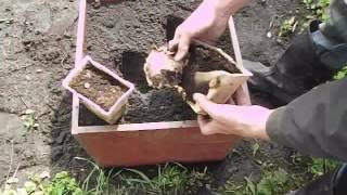 Имбирь – выращивание на даче