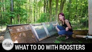 Backyard Chickens: What Do You Do With Extra Roosters?