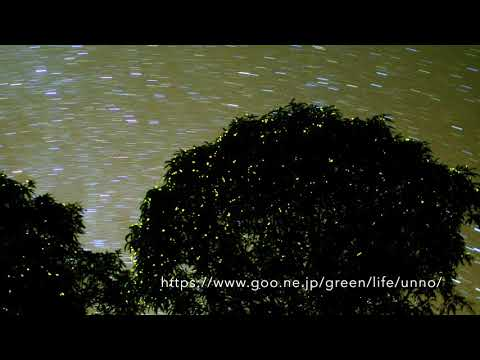 Firefly tree ホタルの木